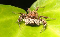 Portia Schultzi jumping spider