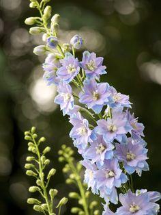 Delphinium 'Magic Fountains Sky Blue/White Bee'