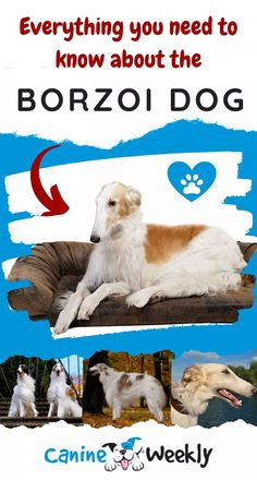 This complete guide to the Borzoi dog will include all the information you may want to know. We'll explore its history, analyze its personality traits, and give you some tips on how to properly care for it. Top Dog Breeds, Large Dog Breeds, Big Dogs, Large Dogs, Borzoi Dog, Dog Car, Puppy Care, Dog Training Tips, How To Train Your