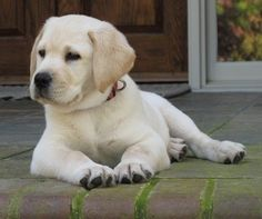 Greenbriar Plantation - Breeders of Labrador Retrievers in South Carolina > Photo Gallery