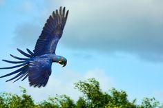 Blauara im Loro Parque auf Teneriffa  Blue parrot at the Loro Parque, Tenerife