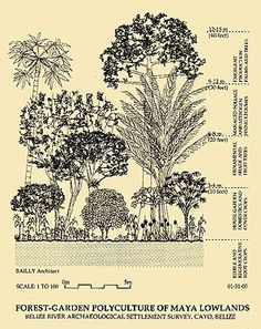 Maya Forest Garden Polyculture- Lessons from the past One Straw Revolution, David Holmgren, Bill Mollison, Permaculture Design, Drawing Exercises, Forest Garden, Mesoamerican, Edible Garden, Fruit Trees