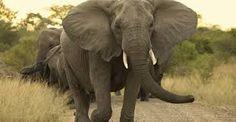 elephant elefante