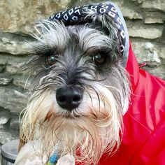 "272 Likes, 19 Comments - Doc the Schnauzer (@doc.the.schnauzer) on Instagram: ""Hooman, where is the umbrella? My face and beard got wet!  #helpwanted #nowhiring…"""