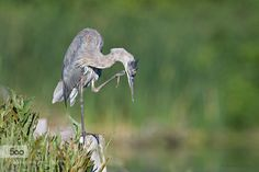 Great Blue Heron by Dave_v