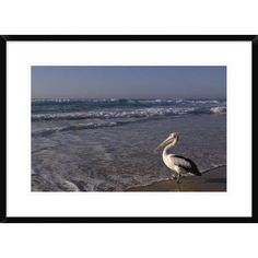 "Global Gallery 'Australian Pelican on Beach' Framed Photographic Print Size: 22"" H x 30"" W x 1.5"" D"