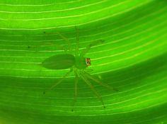 #arachnids #spider #green