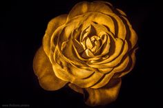 Rotten Rose by Andrei Robu - RoSonic.photos on 500px