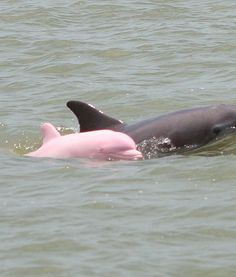 pinky pink albino dolphin with it's mother, photographed in a Louisiana lake