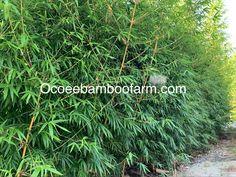 Juno Beach, Hallandale Beach, City Beach, Pompano Beach, Delray Beach, Bamboo Plants For Sale, Ocoee Florida, Clumping Bamboo, Neptune Beach