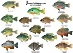 Poster de Peixes - Galeria de Peixes de Água Doce - Galeria de Imagens - Aquariofilia.net Fish Chart, Cichlid Aquarium, Lure Making, Freshwater Aquarium Fish, Water Animals, Fish Ponds, African Cichlids, Little Fish, Mundo Animal