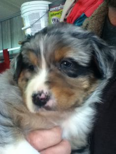 This is also my new Austrailian shepherd!!!! He is 6weeks old now