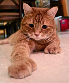 orange tabby + polydactyl paws=purrfection | Tabby Cat ...  orange tabby + ...
