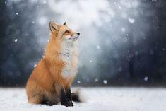 Meet Freya, The Beautiful Fox I Photographed In Polish Woods