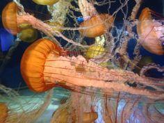 Jelly fish Long Beach Aquarium, Jelly Fish, Shrimp, Food, Meals, Yemek, Eten