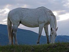 Dinner Time. Hungarian Felvar Horse . . .