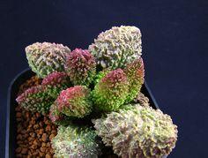 Adromischus is a succulent belonging to the family Crassulaceae.