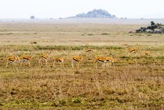 Herd of Thomson's gazelle on the Serengeti plains. Safari Outfits, Serengeti National Park, Arusha, African Safari, Months In A Year, Africa Travel, Tanzania, Mammals, National Parks