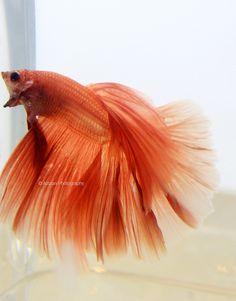 half moon betta fish. Próximo reto: peces betta