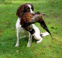 Adorable Dogs, Cute Puppies, Hunter Dog, English Springer Spaniel, Spaniels, Dog Art, Labrador, Animals, Animales