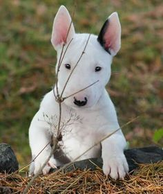 14 Facts For Bull Terrier Lovers & Page 2 of 3 & PetPress 14 Facts For Bull Terrier Lovers & Page 2 of 3 & The post 14 Facts For Bull Terrier Lovers Perros Bull Terrier, Chien Bull Terrier, Terrier Mix, White Terrier, Terrier Dogs, Pet Dogs, Dog Cat, Chihuahua Dogs, Teacup Chihuahua