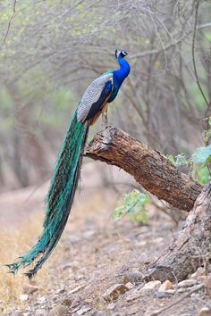 Peacock Art...Waiting for Monsoon Rains 1...By Artist Unknown...