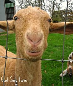 excellent post on Dairy Goat Breeds in the US - information on average production, quality (taste), and butterfat percentages from Mother Earth News