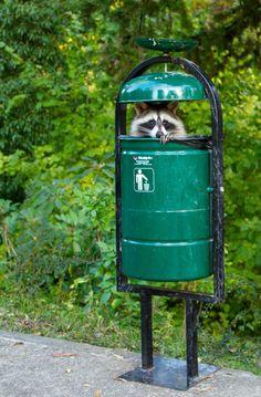 too funny.looks like a Raccoon Robot Animals And Pets, Baby Animals, Funny Animals, Cute Animals, Funny Raccoons, Wild Animals, Beautiful Creatures, Animals Beautiful, Photo Animaliere
