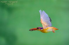 Freeze in Flight … - ODKF, (oriental dwarf king fisher) (female Bird)  Opening the season of ODKF with this image ………. Hope you all like it.  Catching the orange bullet in the air it self is not simple task to achieve. ODKF are beautifully quick flyers and suddenly change the directions during the flight. Caching them in the flight with full wing side open at the camera it tuff job to make. I make wish three years ago that one day I will catch him during the flight and without any special…