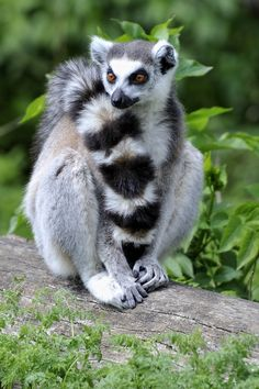 Lemur Tail by Josef Gelernter Ring tailed lemur Jungle Animals, Animals And Pets, Baby Animals, Funny Animals, Cute Animals, Nature Animals, Wild Animals, Beautiful Creatures, Animals Beautiful