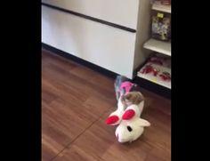 """Pequena Yorkie Lucy escolhe o maior brinquedo da loja e se torna um viral - """"O Grito do Bicho"""""""