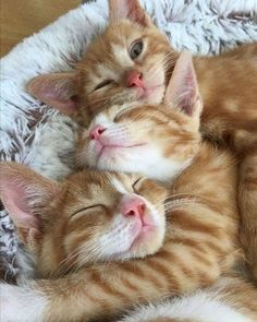 Free Cats And Kittens Perth my Cute List Of Animals it is Cats And Kittens For Sale Southampton. Cats And Kittens Breeds Cute Cats And Kittens, Baby Cats, Cool Cats, Kittens Cutest, Ragdoll Kittens, Bengal Cats, Kittens Meowing, Kittens Playing, Pretty Cats
