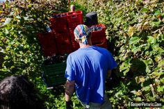 How Slovenes Harvest Grapes in Dutovlje – Slavorum