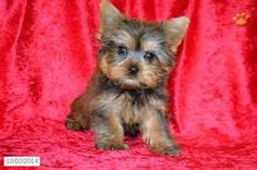 Teacup Yorkie Puppies Sale - Bing Images