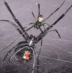 The only naturally occurring poisonous spider in Maryland is the Black Widow spider. Learn how to identify several other spider species, their habitats, behaviors, and what you can do to deter them. Scared Of Spiders, Spiders And Snakes, Spider Species, Black Widow Spider, Itsy Bitsy Spider, Kali Goddess, Living In Alaska, Jeepers Creepers, Well Thought Out