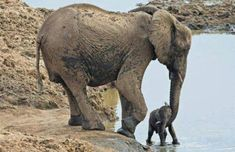 Mom introduces baby elephant to the water. By Melissa Philips Martin at True Wildlife & Animal Lovers Unite All About Elephants, Elephants Never Forget, Save The Elephants, Baby Elephants, Photo Elephant, Elephant Love, Mama Elephant, Newborn Elephant, Baby Newborn