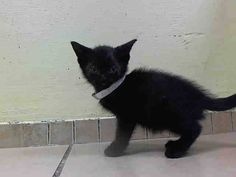 TO BE DESTROYED 5/31/14Brooklyn CenterMy name is 1.02BORIS. My Animal ID # is A1001212.I am a male black domestic sh mix. The shelter thinks I am about 5 WEEKS old.I came in the shelter as a STRAY on 05/27/2014 from NY 11223, owner surrender reason stated was STRAY. I came in with Group/Litter #K14-178939.