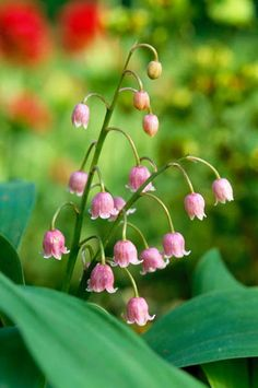 Convallaria majalis Rosea - Lily of the Valleys  This is a beautiful flower, I love how different it is from most flowers