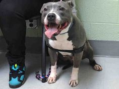 GONE 4/20/2015 --- KINGDOM - A1032964  MALE, GRAY / WHITE, AMERICAN STAFF MIX, 4 yrs OWNER SUR – EVALUATE, NO HOLD Reason MOVE2PRIVA Intake condition UNSPECIFIE Intake Date 04/12/2015,