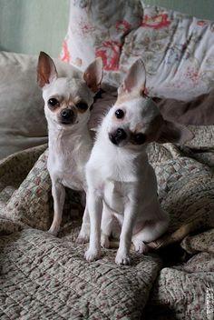 Love Chihuahuas! ☆ #chihuahua