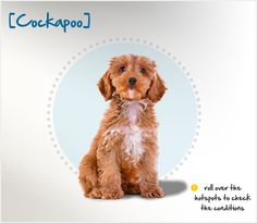 """Did you know the Cockapoo is technically a """"mixed breed"""" dog, the result of a cross between a Cocker Spaniel and a Poodle? Read more about this breed by visiting Petplan pet insurance's Condition Checker!"""