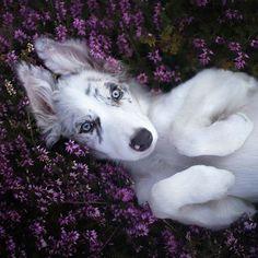 """Springtime!"" by Alicja Zmysłowska. Border collie Ciri chilling in heather."