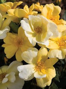 Sunny Knock Out® Rose - Fragrant, bright yellow flowers mature to a cream color and are produced continuously and profusely. Extraordinary resistance to common rust, mildew and black spot foliage diseases. Makes a superb low hedge. Yellow Knockout Roses, Yellow Flowers, Rose Hedge, Ronsard Rose, Rose Varieties, Fast Growing Trees, Shrub Roses, Plant Catalogs, Asian Garden