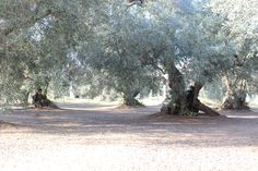 Painted by the #sun. #olive #tree #Puglia