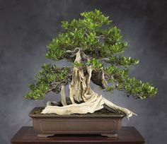 """Dante's Inferno"" Buttonwood (Conocarpus erectus) 39 inches wide, Chinese pot Winner of the World Bonsai Contest Bonsai Tree Care, Bonsai Art, Bonsai Plants, Bonsai Garden, Bougainvillea Bonsai, Indoor Bonsai, Ikebana, Bonsai Styles, Mini Bonsai"
