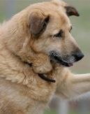 How to Care for Your Arthritic Dog