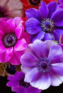 Anemone, Pink and Purple Flowers