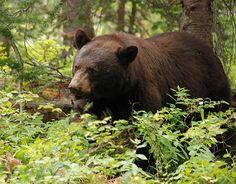 Black Bear with Huckleberries