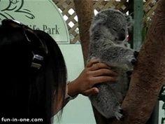 ¿Y qué es lo único que les encanta más que dormir? Una frotadita de barriga ¡duh! | 21 koalas con los que querrás acurrucarte ahora mismo