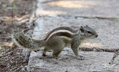 northern palm squirrel photos - Google Search